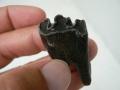 bison-fossils-florida-3