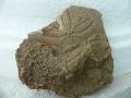 invertebrate-fossils-1