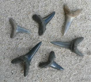 shark-teeth-fossils-12