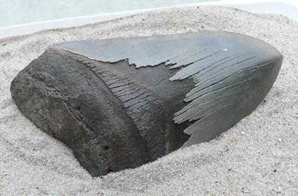 shark-teeth-fossils-8