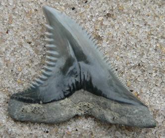 sharks-teeth-fossils-1