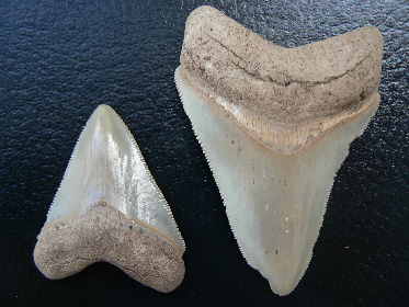sharks-tooth-fossils-15