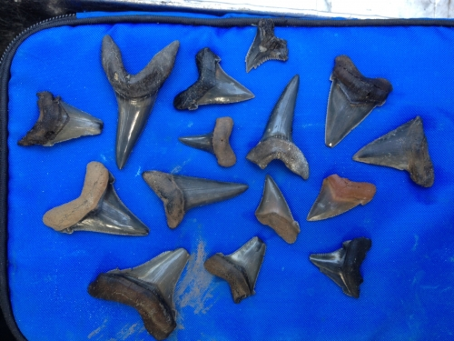sharks-tooth-fossils-17