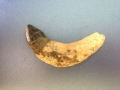 tapir-fossils-9