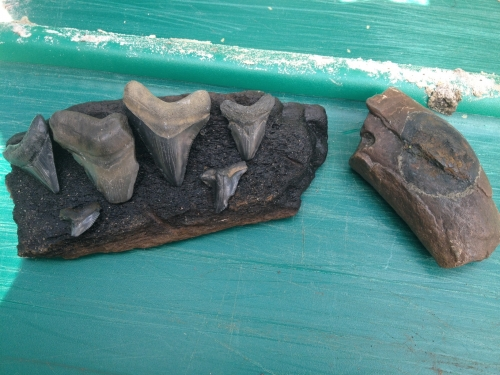 florida-fossil-hunting-2013-22