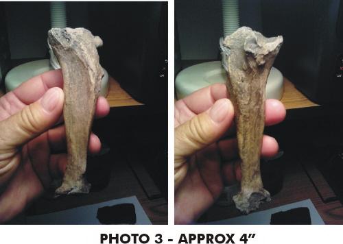 armadillo-fossils-7