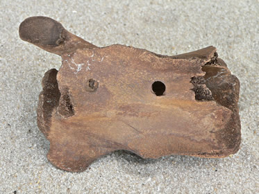 camel-and-llamas-fossils-4