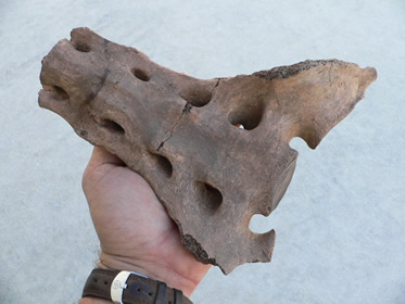 horse-fossils-4