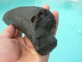 manatee-dugong-fossils-fossils-5
