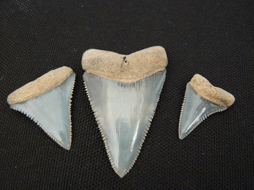 Shark fossil teeth found in Florida in the Peace River | 772-539-7005 Fossil Hunting Tours Florida