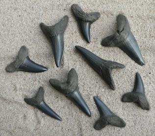 shark-teeth-fossils-5