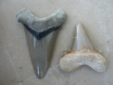 sharks-tooth-fossils-7
