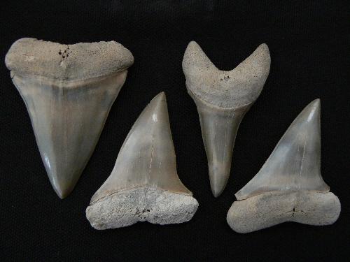 sharks-tooth-fossils-aurora-makos