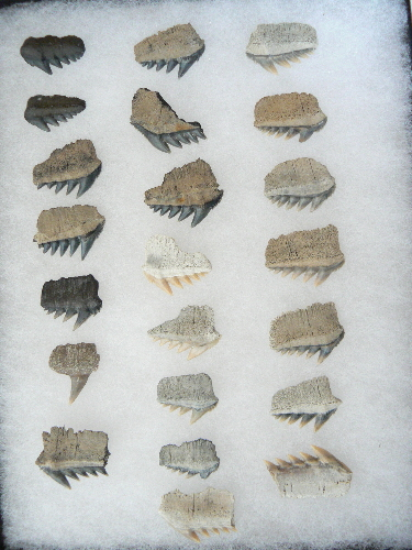 sharks-tooth-fossils-cows