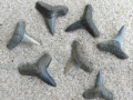 shark-teeth-fossils-2