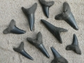 shark-teeth-fossils-5