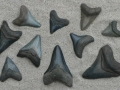 shark-teeth-fossils-9