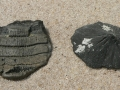 stingray-skate-fossils-2