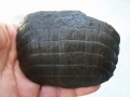 stingray-skate-fossils-5