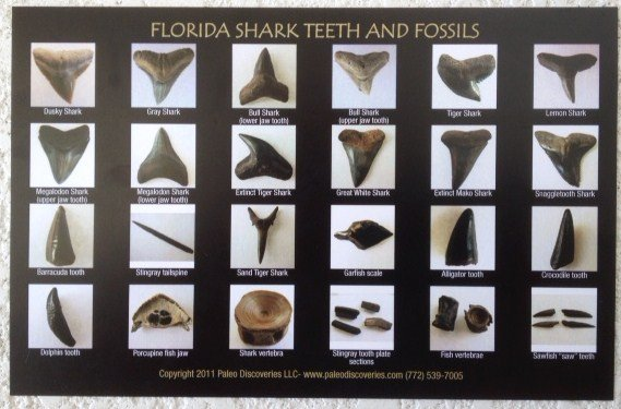 Shark Teeth and Fossils Identification Chart / Postcard | 772-539-7005 Fossil Hunting Tours Florida